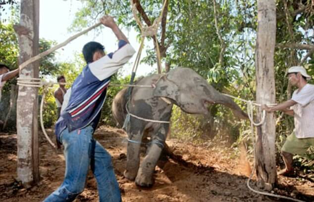 elephant tprture and abuse