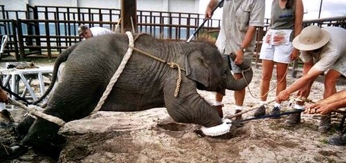elephant torture and phajaan