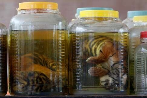 abused stillborn tigers