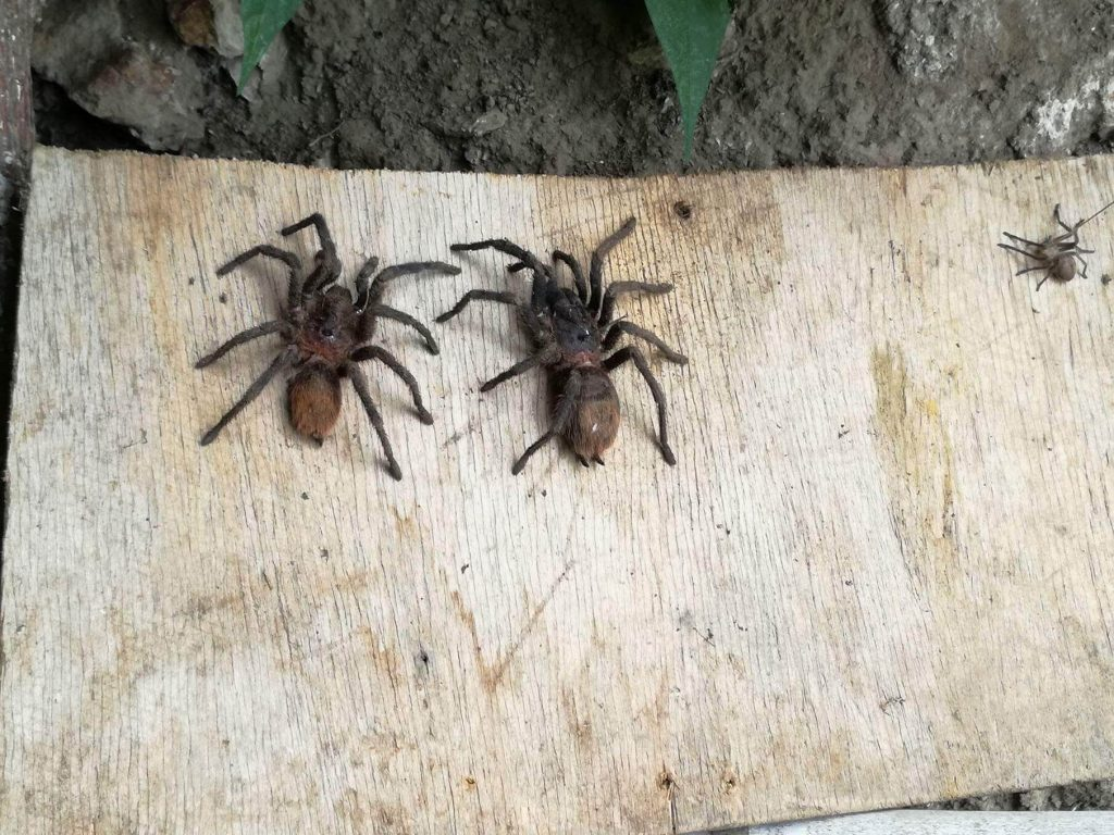 Choquequirao spiders